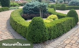 #ProPlantTips - Creating A Formal Boxwood Hedge!