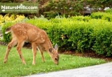 Deer Resistant Plants For The East