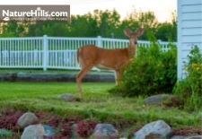 Deer Resistant Plants For The North