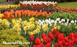 Fall Planting Bulbs Leads to Bright Spring Blooms