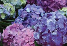 You Can Change the Color of Some Hydrangeas
