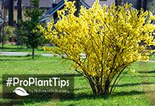 Timing for Pruning Flowering Shrubs