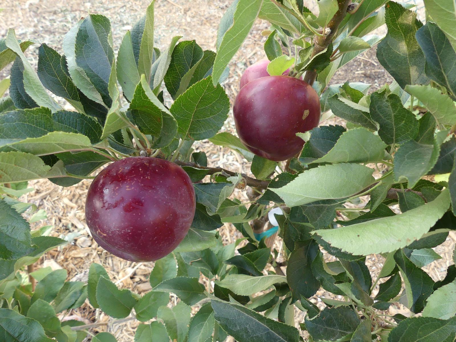Arkansas Black apples in tree