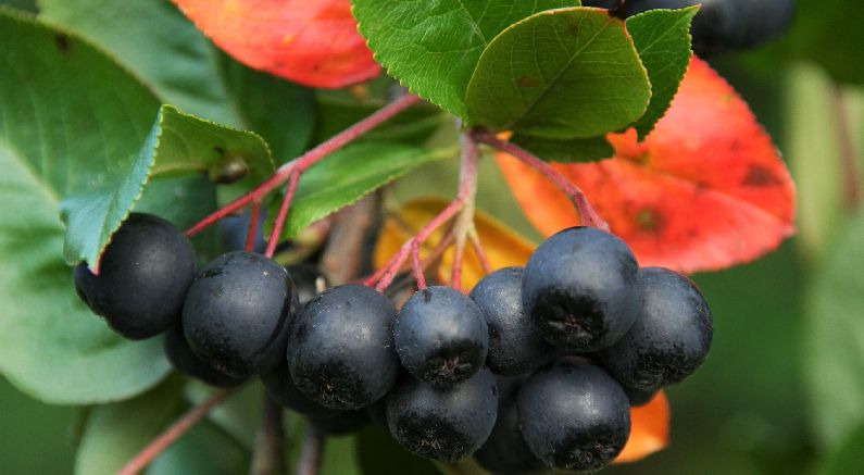 Aronia is a hot new superfruit. Sounds better than chokeberry!