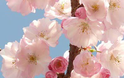Caring for flowering cherry blossoms