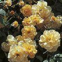 Autumn Sunset Hardy Climbing Rose