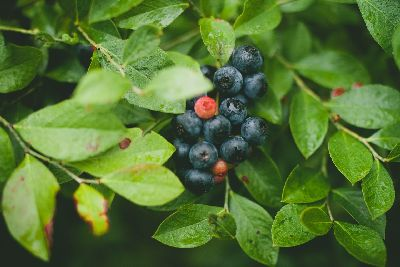 Blueberries are an important part of a permaculture garden