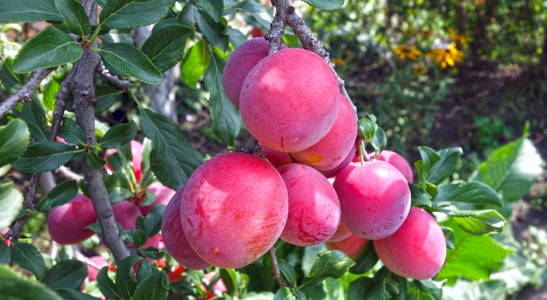 Delicious, Easy Care Plum Trees Are Easy for Beginning Gardeners