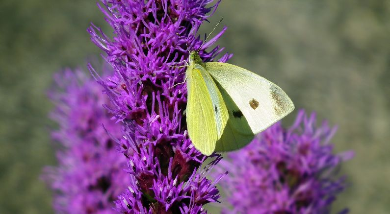 Plant Flowering Trees, Shrubs and Plants for Butterflies