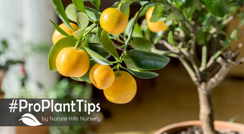 Care Tips for Citrus Trees in Pots