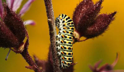Caterpillar host plants