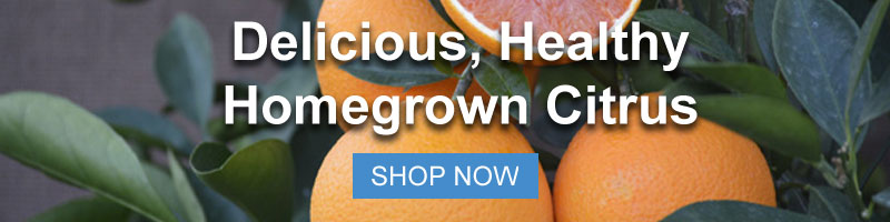 Shop Citrus Trees