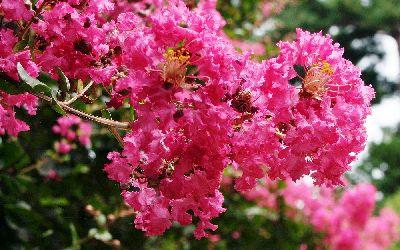 Bright pink Crape Myrtle Flowering Shrub