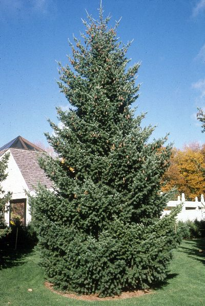 Fast Growing Shade Tree Douglas Fir