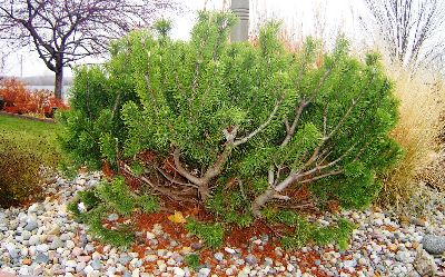 Dwarf Mugo Pine gives structure to your yard, even in winter