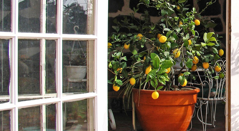 Top Varieties for Growing Citrus in Pots