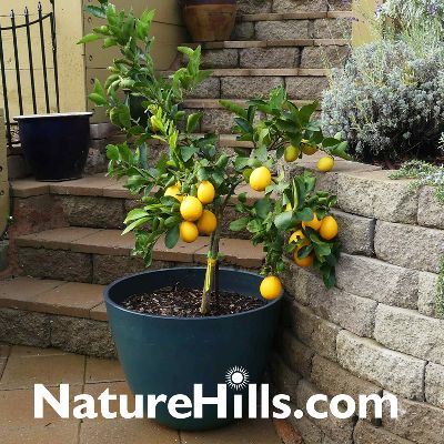 Grow Indoor/Outdoor Citrus Trees from Nature Hills in Containers
