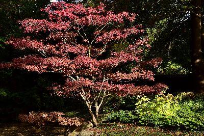 Japanese Maple in a Zen Garden