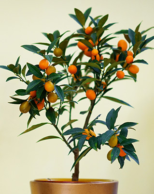 Growing Kumquat in pot