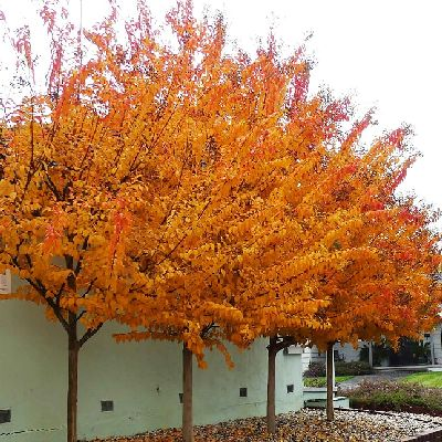 Lovely fall color of properly pruned Crape Myrtle trees