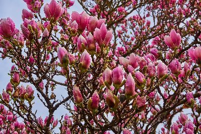 Amazing Flowering Magnolia trees