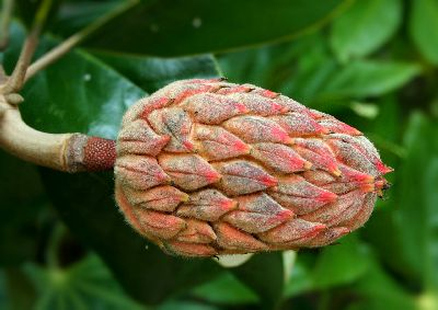 Ornamental trees give more than just flowers, as this Magnolia Tree seed pod shows