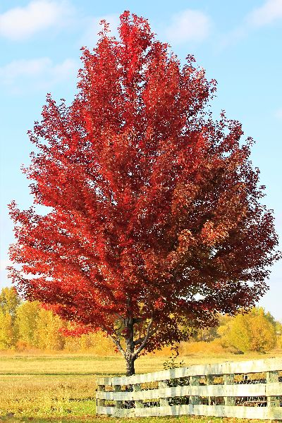 Fast Growing Shade Tree October Glory Maple