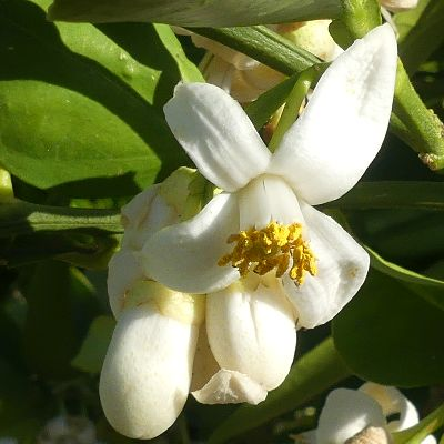 Beautiful fragrant flowers of the Oro Blanco Grapefruit from Nature Hills