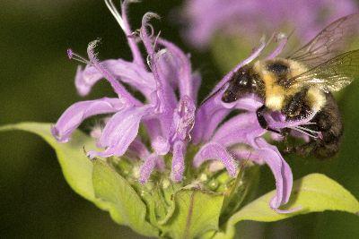 Pollinator On Monarda Native Plant