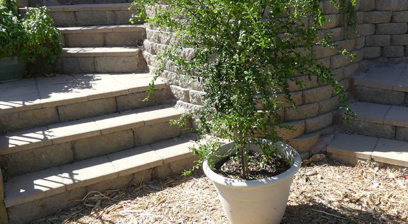 Here's how to repot fruit trees growing in containers