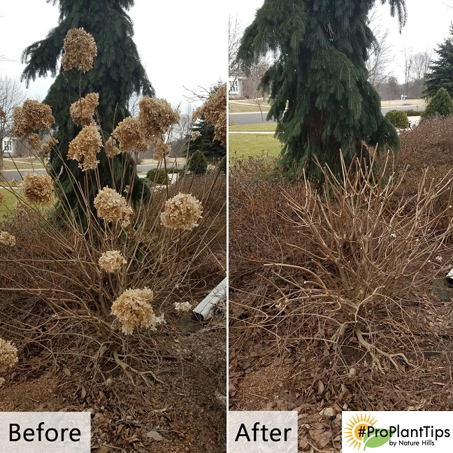 Pruning Woody Hydrangeas