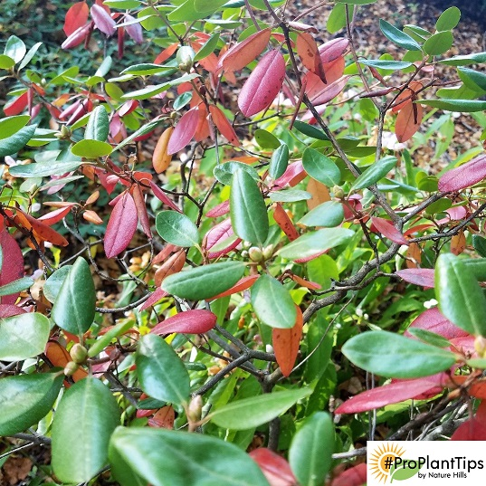 My Rhododendrons Are Losing Leaves This Fall Is This Normal