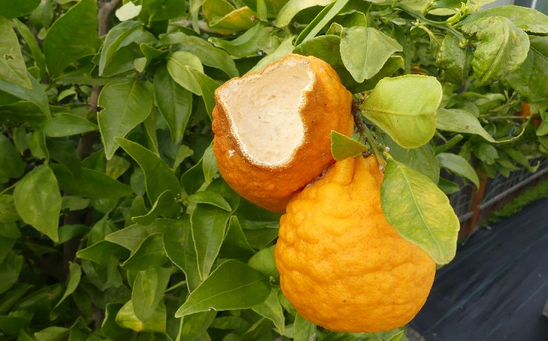 Helpful hints on Citrus diseases and pests from Nature Hills Nursery