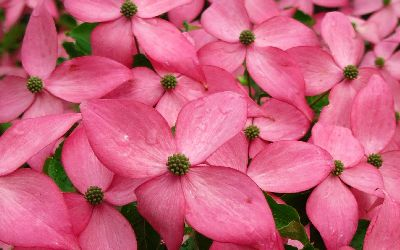 Scarlet Fire Dogwood bright hot pink blooms