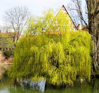 Is there anything prettier than a Willow in spring?