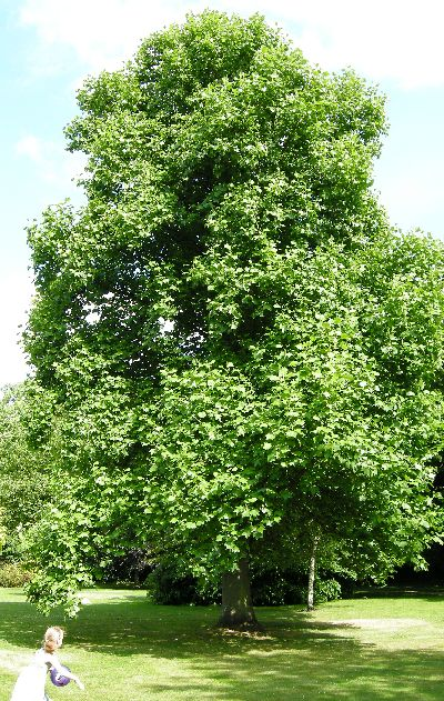 Fast Growing Shade Tree Tulip Poplar