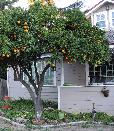 Washington Navel Orange as a Shade Tree