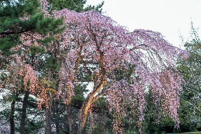 Highly ornamental trees, like Yoshino Weeping Cherry are a wonderful addition to your landscape
