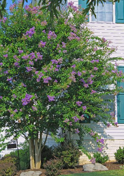 Fast Growing Shade Tree Crape Myrtle