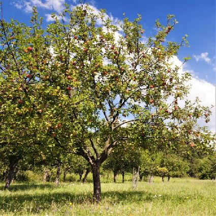 Fruit trees like apples can be an important element in firescaping