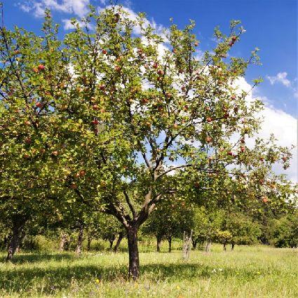 Fruit Tree In Field