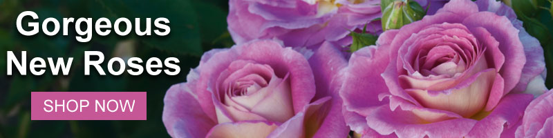 Shop all of Nature Hills Gorgeous New Roses