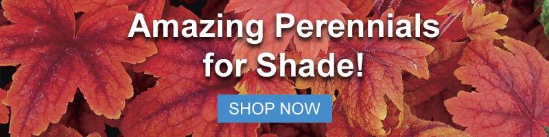 Shop for Shade Perennials at Nature Hills