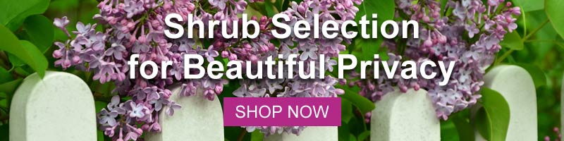 Shop for Nature Hills Privacy Shrubs
