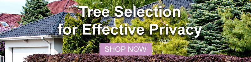 Shop all of Nature Hills Privacy Trees