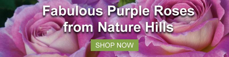 Shop Nature Hills amazing purple rose collection