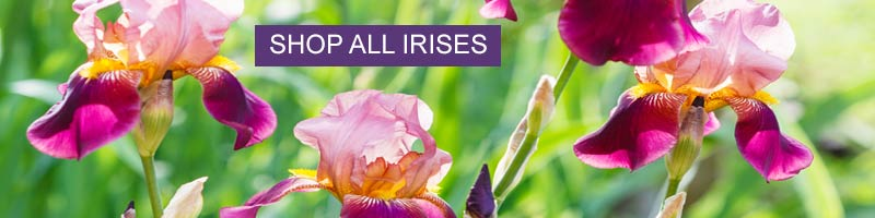 Shop all Tall Bearded Iris at Nature Hills