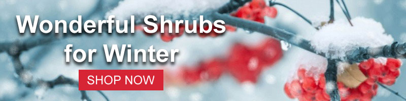 Shop for Shrubs with Winter Interest