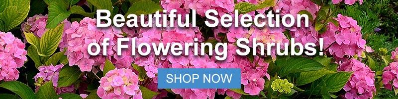 Shop Flowering Shrubs Now