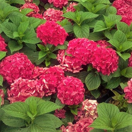 Grateful Red Hydrangea